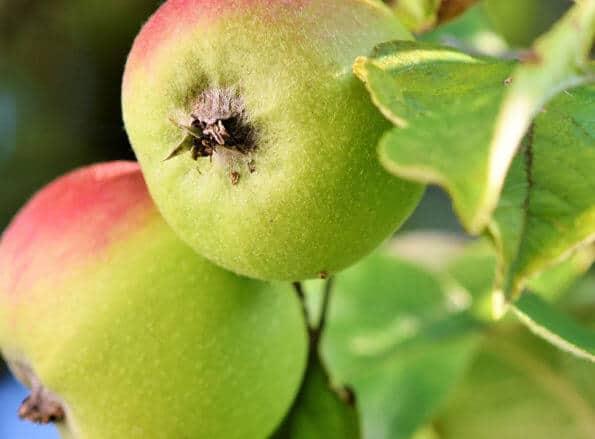 https://fr.rivulis.com/wp-content/uploads/2019/05/Apples_Pears-595x439.jpg