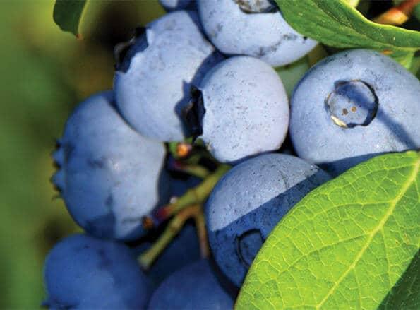 https://fr.rivulis.com/wp-content/uploads/2019/05/Blueberries_bg-595x439.jpg