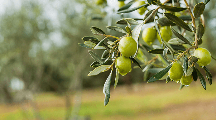 Olive Irrigation