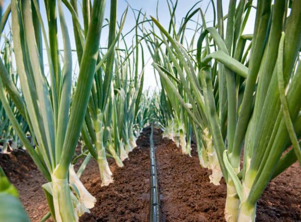 https://fr.rivulis.com/wp-content/uploads/2019/05/open_field_vegetables-595x439.jpg